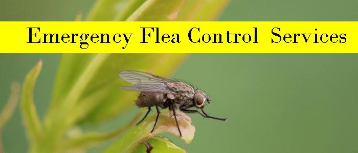 Emergency Flea Control Kingsley